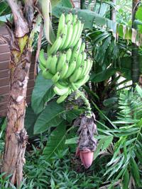 martinique_bananes_regime