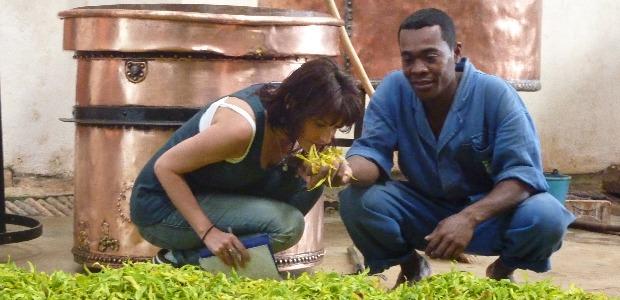 L'ylang-ylang sA�lectionnA� pour la distillation
