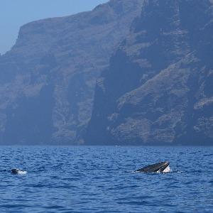 Baleines au pied de Los Gigantes